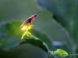 Ateşböcekleri neden parlar