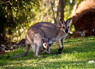 kangurular hakkında kısa bilgiler